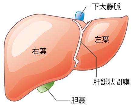 肝臓 図1