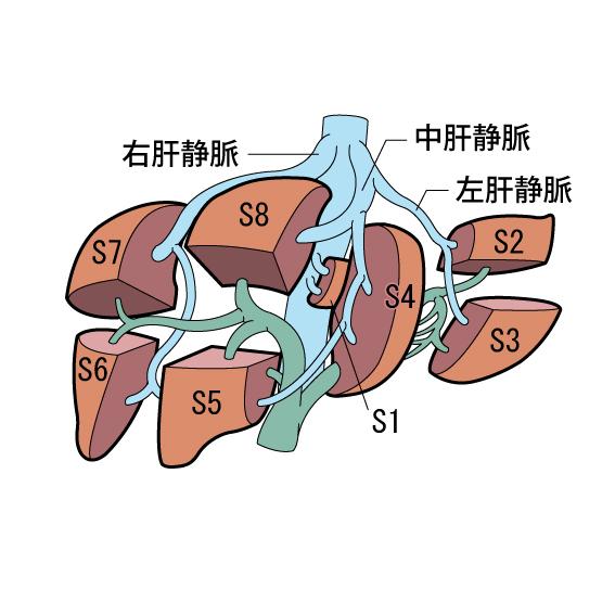 肝臓 図4a